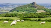 Vaches charolaises au pied de Solutré
