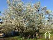 arbre fruitier en fleur